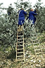 olive-harvest3
