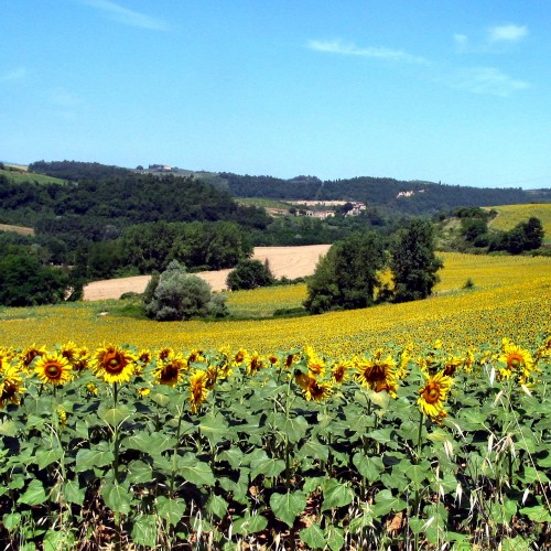 Southern Tuscany during a Sunflower Year