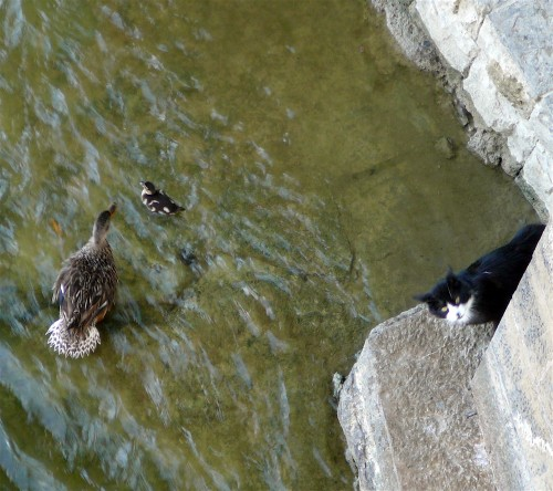 Soot and Mother Duck in a standoff
