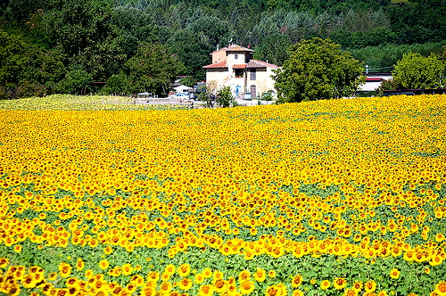 Tuscany in the summer in a sunflower year