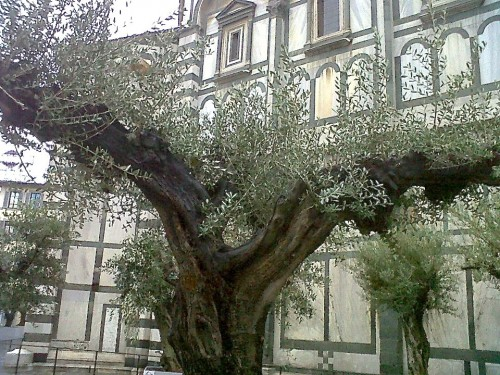 No olive hang from these carefully pruned trees (Photo by F. Boni)