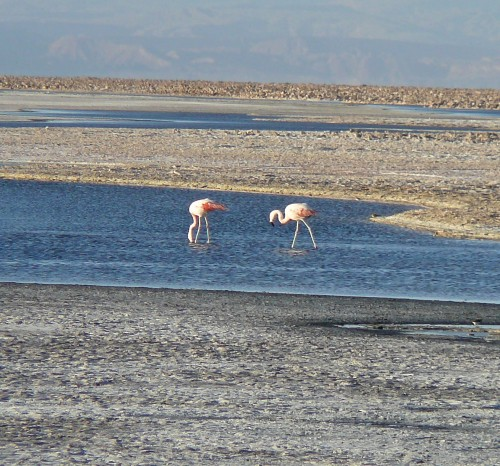 Hundreds of flamingos spend months on the Salar de Atacama