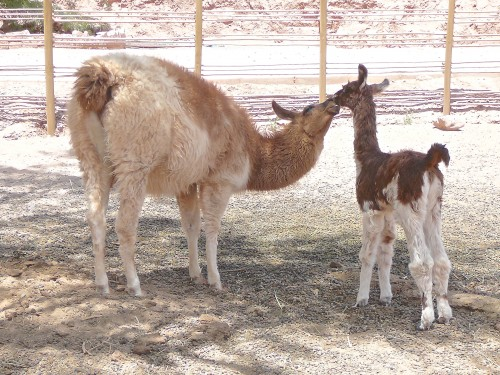 Week-old llama gets a kiss from his mother at the Hotel Alto Atacama