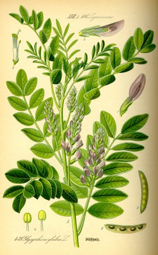 Illustration of Glycyrrhiza Glabra