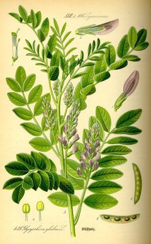 Illustration of Glycyrrhiza Glabra
